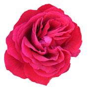 logo rosier