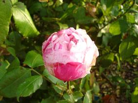 fleur d'automne ayant subi un léger gel Fin nov 2005