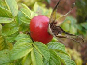 Rosier ancien - Poil a gratter plante ...