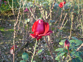 Quelques conseils pour débutantes: ( jardinage ) - Page 4 Grandes-fleurs-abb%C3%A9-lemire