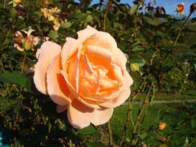 Quelques conseils pour débutantes: ( jardinage ) - Page 4 Grandes-fleurs-abbaye-cluny