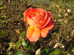 Quelques conseils pour débutantes: ( jardinage ) - Page 4 Grandes-fleurs-grenadine
