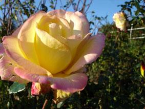 Quelques conseils pour débutantes: ( jardinage ) - Page 4 Grandes-fleurs-horticolor