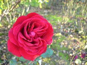 Quelques conseils pour débutantes: ( jardinage ) - Page 4 Grandes-fleurs-ingrid-bergman
