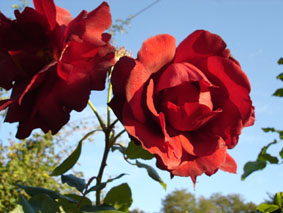 Quelques conseils pour débutantes: ( jardinage ) - Page 4 Grandes-fleurs-oskar-scheerer