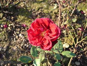 Quelques conseils pour débutantes: ( jardinage ) - Page 4 Grandes-fleurs-velvet-fragance